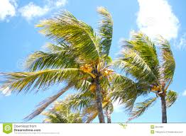 palm trees in the wind stock photo image of leaves coconuts 2641956