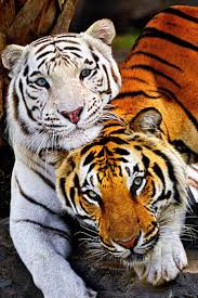 best 25 bengal tiger ideas only on pinterest bengal tiger cat