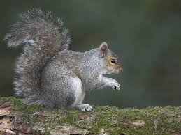 faq u0027s answered on grey squirrel fertility control the rsst blog