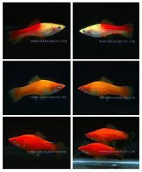 swordtail fish live ornamental fish buy live tropical fish