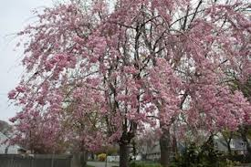 a guide to northeastern gardening flowering trees pretty