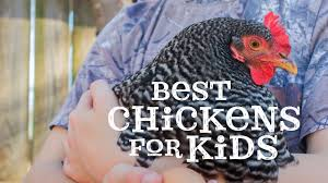 the best chickens for kids youtube