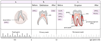 Human Dental Anatomy Dental Related Stem Cells And Their Potential In Regenerative