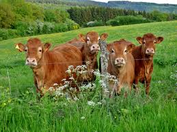 free stock photo of cows on a farm in luxembourg public domain