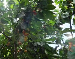 Cherry Tree Fruit - forum i have a cherry tree