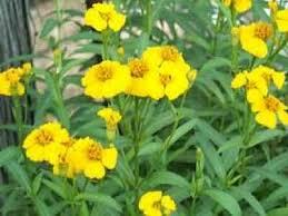 Fall Garden Plants Texas - 57 best houston plants images on pinterest houston
