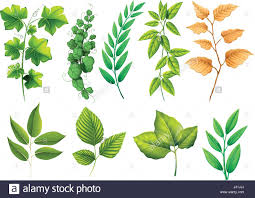 different types green leaves illustration stock photos u0026 different