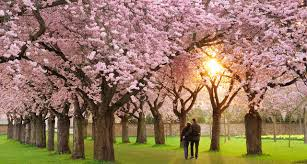 cherry blossoms images land of cherry blossoms luxury japan itinerary remote lands