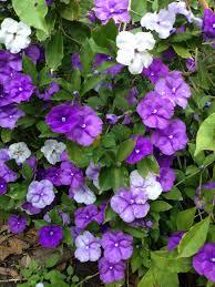 flowers today yesterday today tomorrow brunfelsia latifolia of