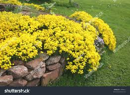 Garden Rock Wall by Flowering Perennial Rock Garden Plant Cascading Stock Photo