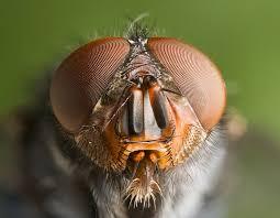 calliphoridae wikipedia