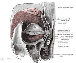 Anatomy Of A Cats Eye Orbicularis Oculi Muscle Wikipedia
