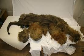 woolly mammoth mummy yields preserved brain geology