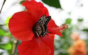 flowers hibscus flower butterfly hibiscus bouquet desktop