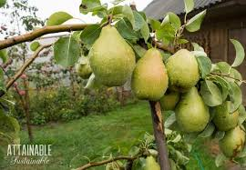 fruit trees creating an edible landscape for a small scale