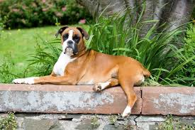 boxer dog photo rhu boxer by matthew boyle in boxer dog on