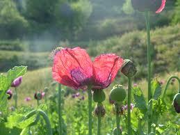 opium ayurvedic gyan afim अफ म opium poppy papaver somniferum
