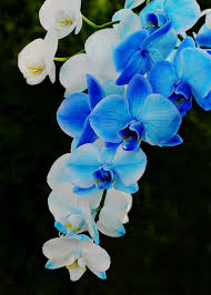 Blue Orchid Flower The 25 Best Blue Orchids Ideas On Pinterest Blue Orchid Wedding