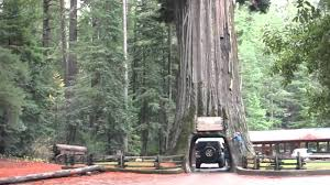 west coast road trip the tree you can drive through