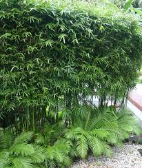 156 best plant ideas bamboo images on landscaping
