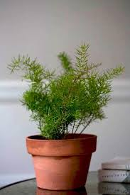 Fragrant Indoor Plants Low Light - best 25 asparagus fern ideas on pinterest evergreen ferns