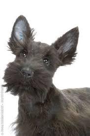 scottish yerrier haircuts that scottie look doggies pinterest scottish terrier dog