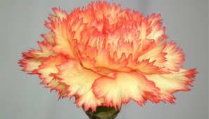 Apricot Color Apricot Color Carnation Flowers Wallpaper Tadka