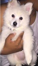 american eskimo dog for sale ontario toronto gta american eskimo dogs puppies for sale classifieds