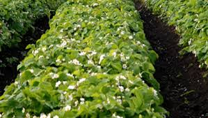 Strawberry Bed Strawberry Crop Guide Growing Strawberries