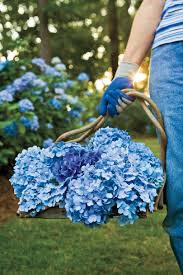 flower gardening 101 gardening 101 french hydrangeas southern living