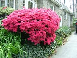 Top Flowering Shrubs - 17 best mixed shrub border images on pinterest shrubs flowering