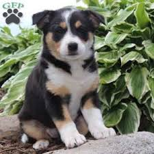 australian shepherd yorkshire terrier mix blue heeler mix puppies for sale greenfield puppies
