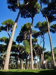pine trees in the pincio park rome the pines of rome