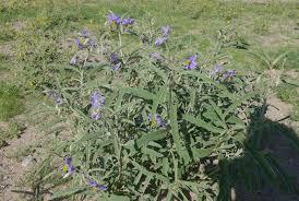 native desert plants desert blooms freethoughtandmetaphor