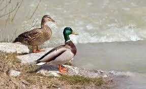 duck simple english wikipedia the free encyclopedia