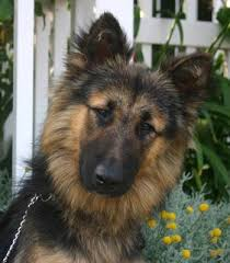 belgian sheepdog vs belgian shepherd westside german shepherd rescue of los angeles