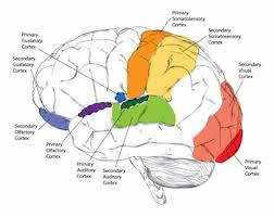 Anterior Association Area Sensory Cortex Definition U0026 Function Video U0026 Lesson Transcript