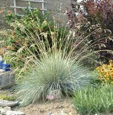 ornamental grass identification blue oat grass yahoo search