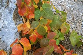 poison ivy leaves turning red yellow fall stock photo