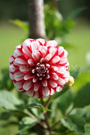 jamaica flower dahlia jamaica flower in the garden in latvia europe stock