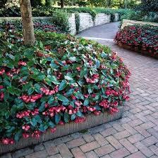 begonia dragon wing red bright shade barton u0027s greenhouse