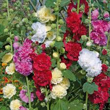 hollyhock flowers buy 40 plus 20 free large plants alcea hollyhock chaters