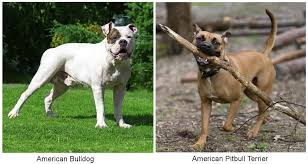 jack russell american pitbull terrier mix information about the american bulldog and american pitbull