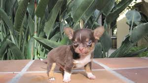 puppies indiana specializing in teacup chihuahua puppies for sale chihuahua