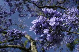 tree with purple flowers la in bloom send us photos of jacarandas in los angeles 89 3 kpcc