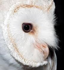 Scientific Name Of Barn Owl Dr Giuseppe Mazza Journalist Scientific Photographer U003e Tyto Alba
