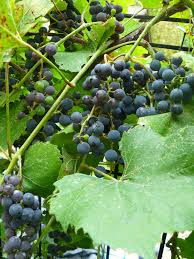 How To Grow Grapes In Your Backyard by Water Wisely Grapes In The Home Garden Yard And Garden News