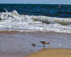 snapshots of nature cape cod beach bum birds