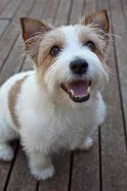 haircut ideas for long hair jack russell dogs long haired jack russell happy holly the short haired jack