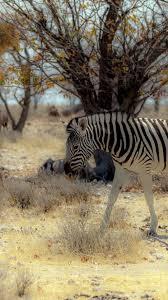 wallpaper 1080x1920 africa zebra tree